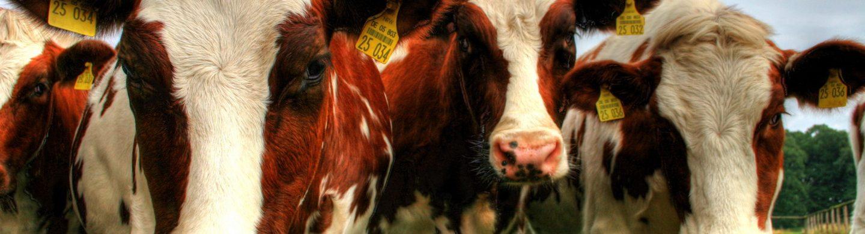 pelatihan ternak sapi 2019, pelatihan ternak sapi di bogor, pelatihan ternak sapi di jawa timur, pelatihan ternak sapi 2018, pelatihan ternak sapi di lampung, pelatihan peternakan, pelatihan ternak kambing di jakarta, pelatihan ternak kambing 2019,
