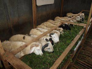 Pembuatan Usaha Ternak Kambing dan Domba